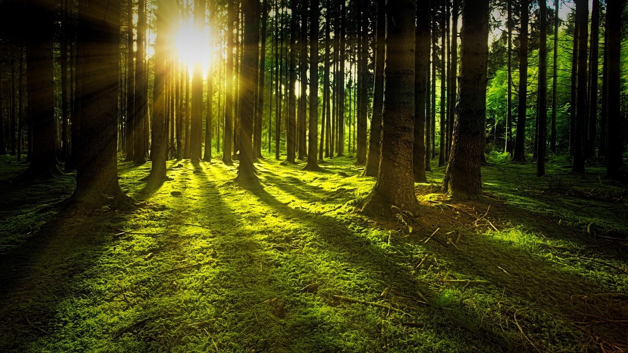 The sun shines through a crowded forest