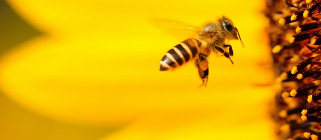 Are Bees Really Going Extinct?