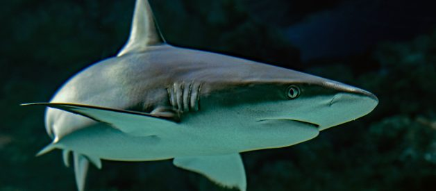 Are Sharks Immune to Cancer?