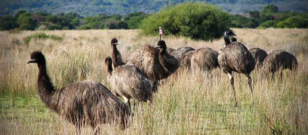 Australia Once Lost a War With the Mighty Emu