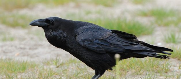 Caw vs. Kraa: the meaning in the calls of crows and ravens