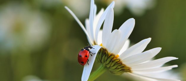 Do You Know Why Ladybugs Are a Symbol of Luck?