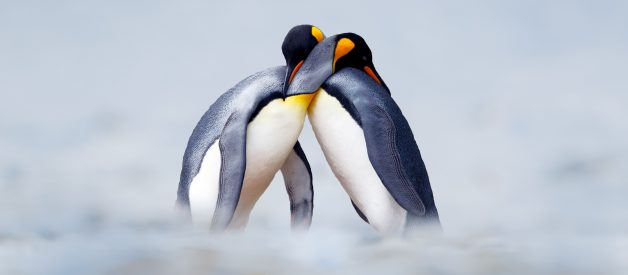 Gay Penguin Power Couples Around The World