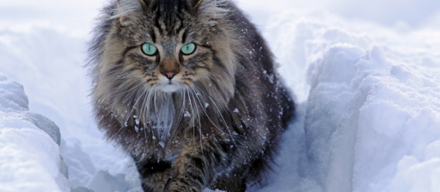 Get to Know The Norwegian Forest Cats, One of The Most Majestic Creatures