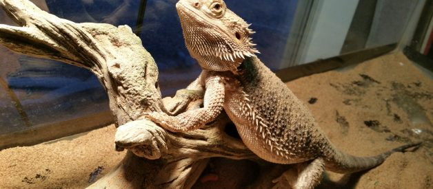 How Long Do Bearded Dragons Live | Bearded Dragon Lifespan