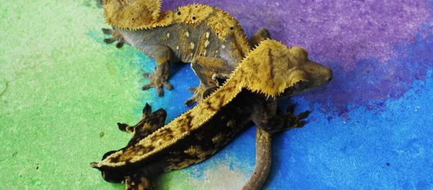 How To Breed Crested Geckos