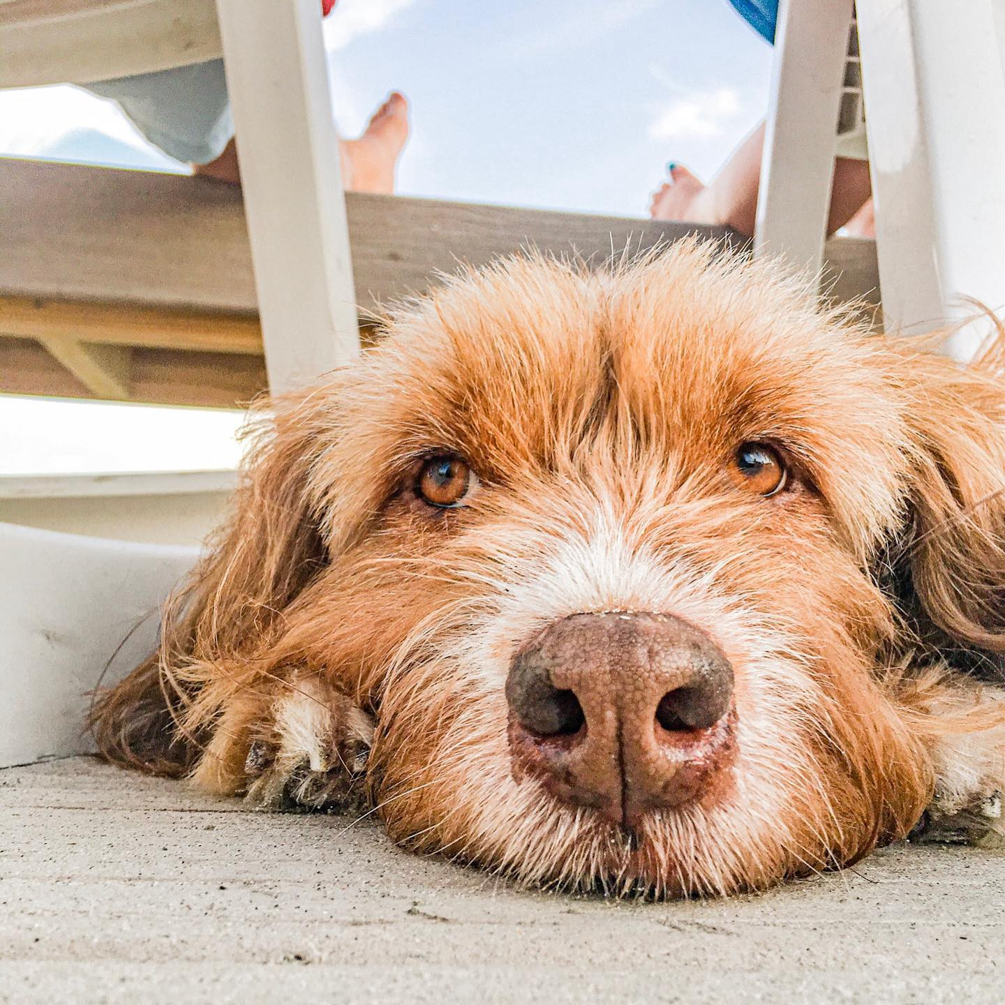 Kinzi, a ginger terrier-like dog resting by two beach chairs