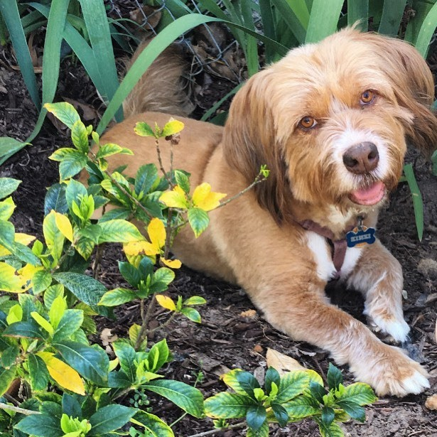 Kinzi, a ginger terrier mixed breed dog, lying down happily near plants