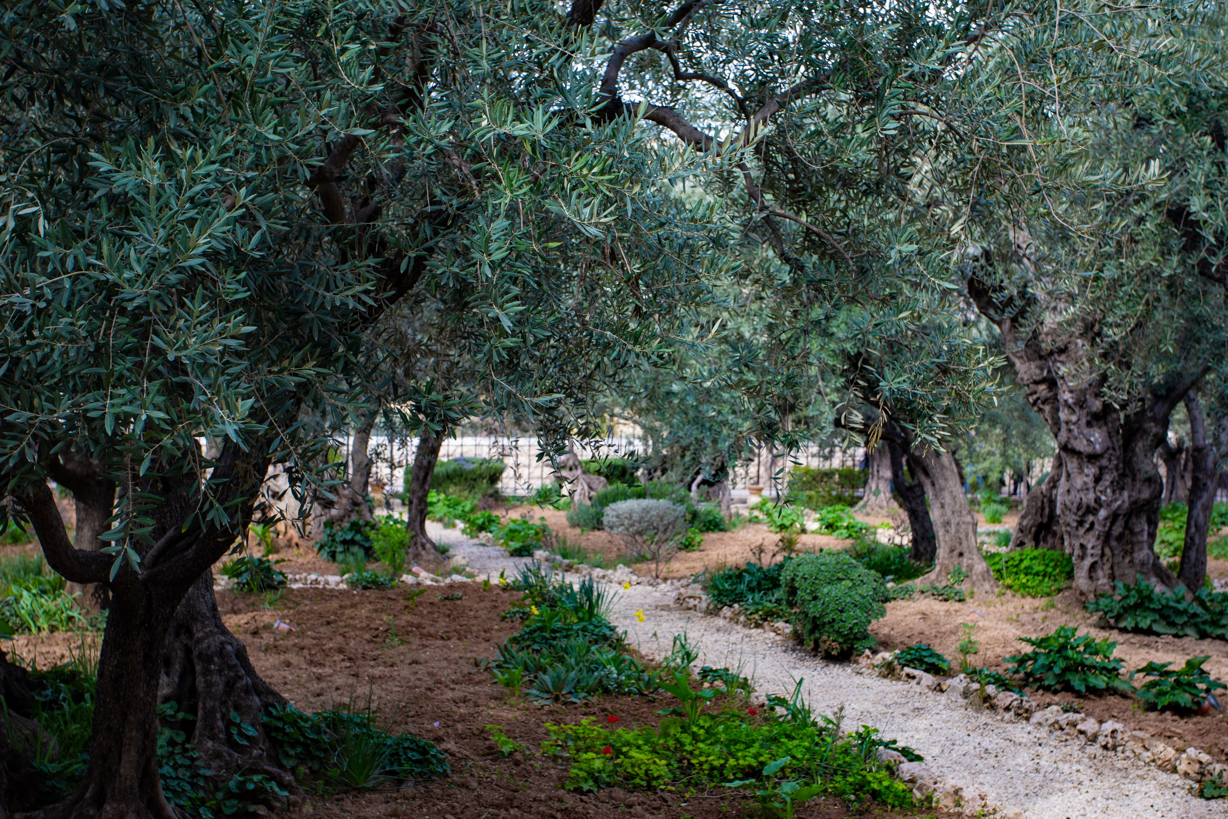 A garden in Israel filled with olive trees.