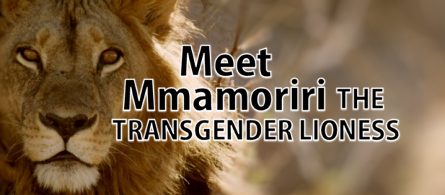 Meet Mmamoriri The Transgender Lioness
