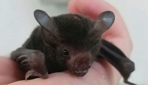 The Baby Bat Who's Teaching People How Cute and Important Bats Really Are