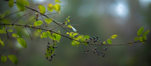 The Health Benefits Of Elderberry And Its Nutritional Value