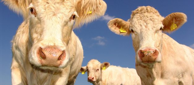 The methane myth: Why cows aren't responsible for climate change