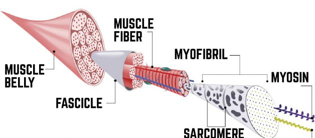 The Science Behind Muscle Growth