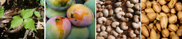 What do mangoes, cashews, pistachios, and poison ivy have in common?