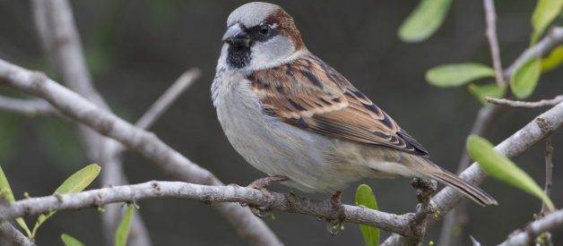 What you need to know about Sparrows and how to support them