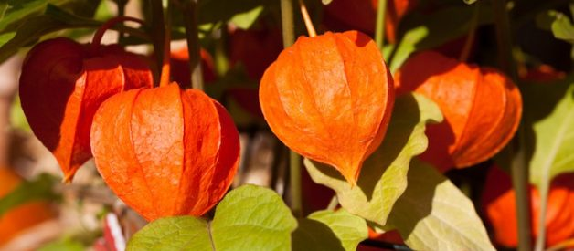 Why Ashwagandha Might be Contributing to Your Depression